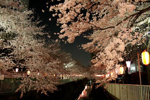 高井戸の夜桜