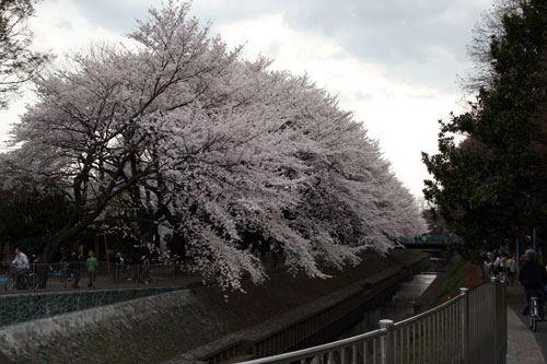 善福寺川緑地の桜