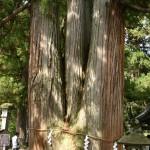 中社の三本杉
