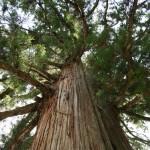 中社の大杉