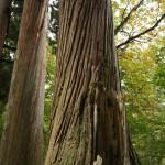 立派な杉の大木
